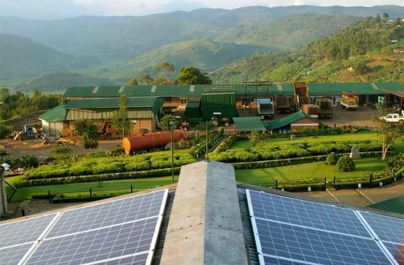 Green hybrid tea in Rwanda